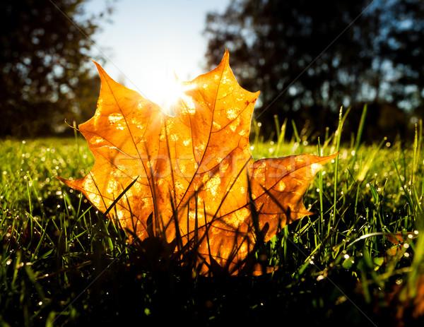Foto stock: Maple · leaf · grama · nascer · do · sol · luz · manhã · floresta