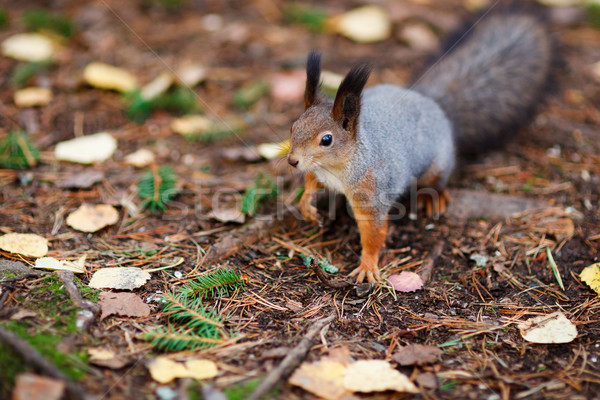 Eurasian red squirrel in the wild Stock photo © Juhku