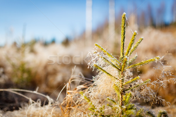 Small spruce and frost hay morning sun Stock photo © Juhku