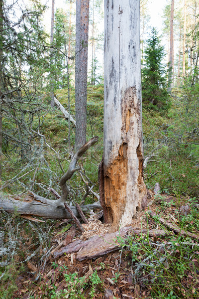 Rot dode hout boom bos Finland Stockfoto © Juhku