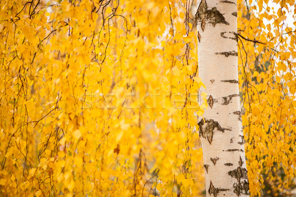 Birch trunk and vibrant yellow leaves Stock photo © Juhku