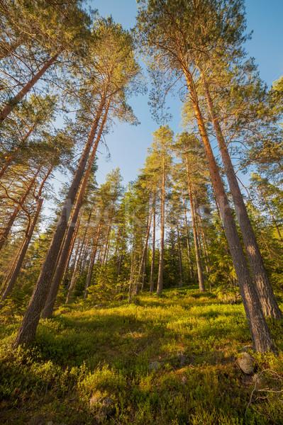Finnish forest at summer Stock photo © Juhku
