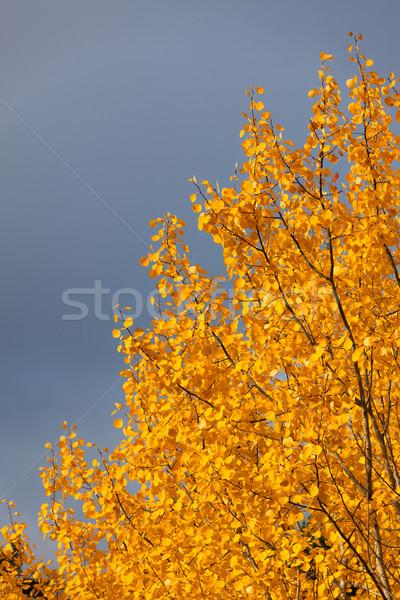 Yellow foliage aspen tree Stock photo © Juhku