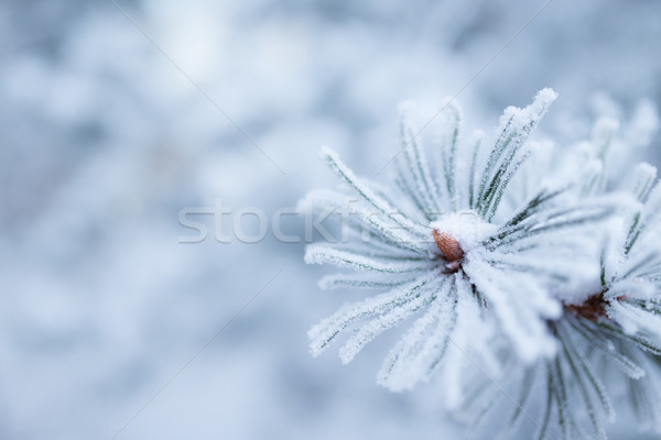 Hoarfrost on needles Stock photo © Juhku