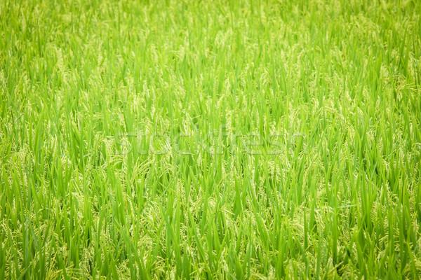 Vers rijstveld groene zomer plant patroon Stockfoto © Juhku