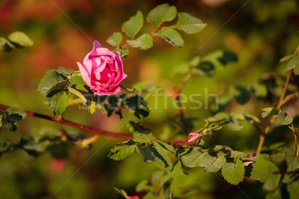Rózsaszín rózsa bokor tavasz rózsa otthon levél Stock fotó © Juhku