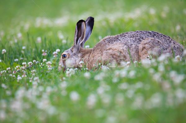 Rabbit eating grass Stock photo © Juhku