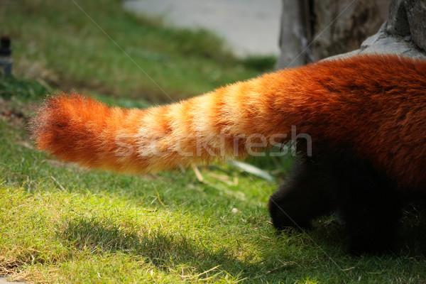 赤 パンダ ふわっとした 尾 縞模様の 自然 ストックフォト © Juhku