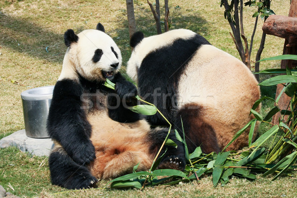 Dos comer bambú gigante naturaleza hojas Foto stock © Juhku