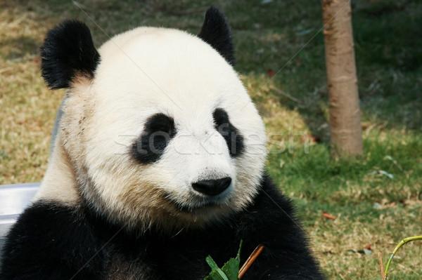 Panda eszik bambusz óriás levelek portré Stock fotó © Juhku