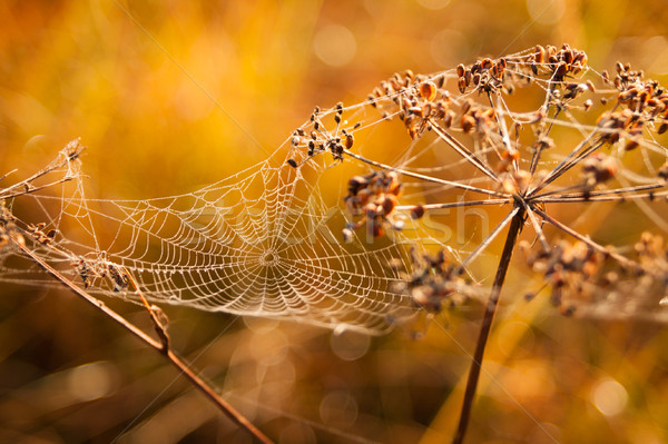 Cobweb covered in dew drops at meadow Stock photo © Juhku