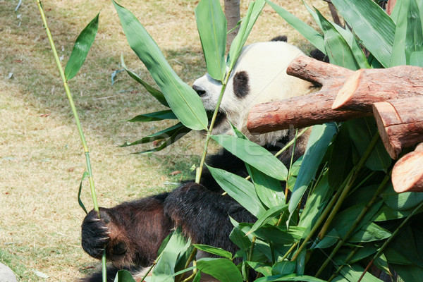 Panda eating bamboo Stock photo © Juhku
