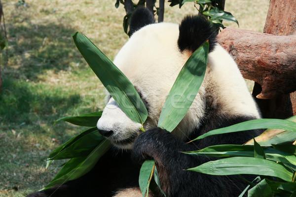 Panda alimentação bambu gigante folhas parque Foto stock © Juhku