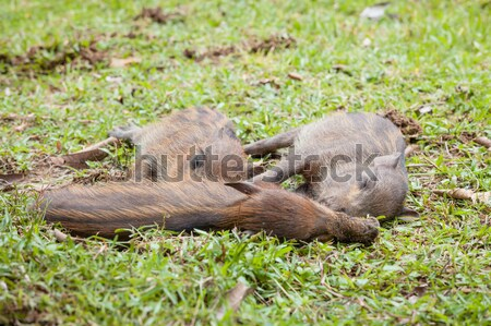 Stock photo: Baby wild boars sleeping on grass