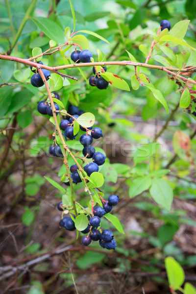 Bleuets maison jardin feuille fruits Photo stock © Juhku