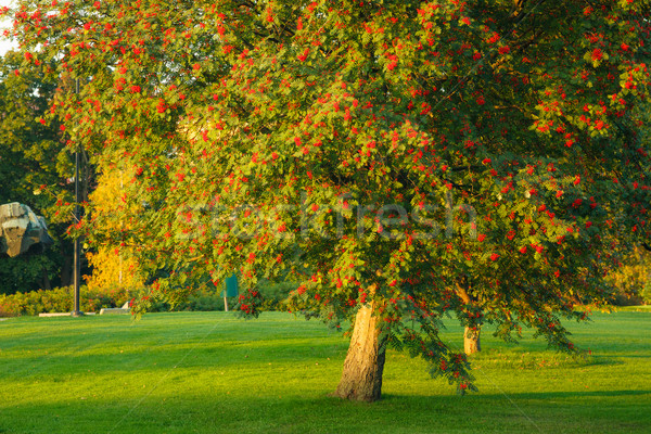 Big rowan tree and ripe berries Stock photo © Juhku