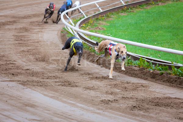 Galgo perros carreras arena tema diversión Foto stock © Juhku