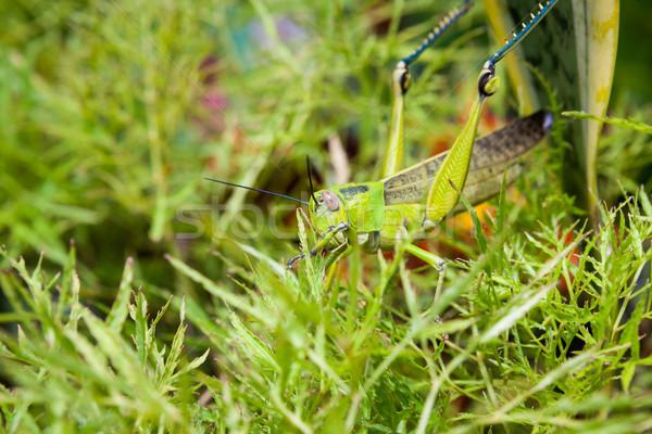 Konik polny Bush ogród trawy charakter liści Zdjęcia stock © Juhku