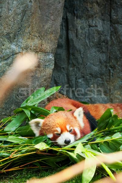 Cute Rood panda eten bamboe Stockfoto © Juhku