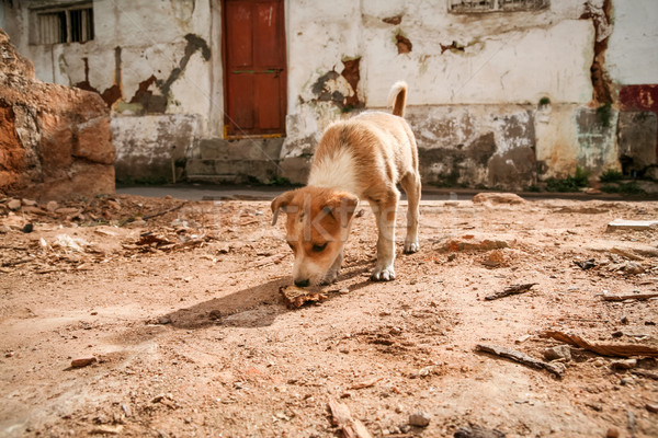 Small puppy on indian streets Stock photo © Juhku