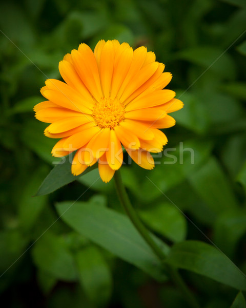 One yellow flower and green leaves Stock photo © Juhku