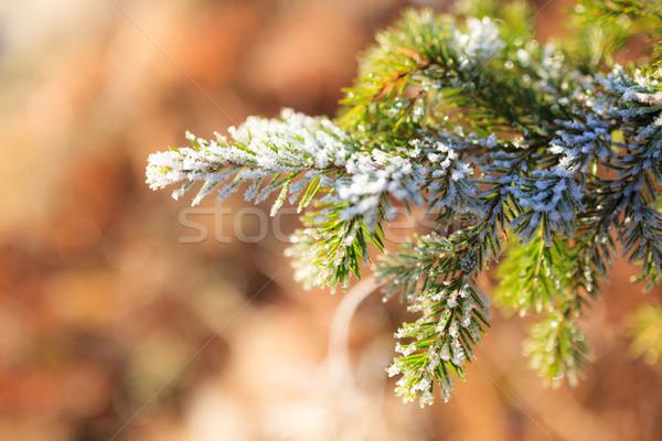 Bevroren sparren tak zonnige winter dag Stockfoto © Juhku
