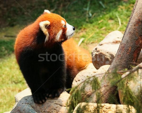 Kırmızı panda yürüyüş hayvanat bahçesi kaya portre Stok fotoğraf © Juhku