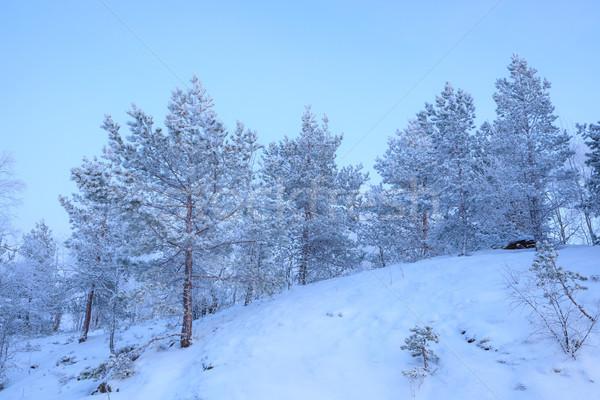 Frozen pine trees at winter evening Stock photo © Juhku