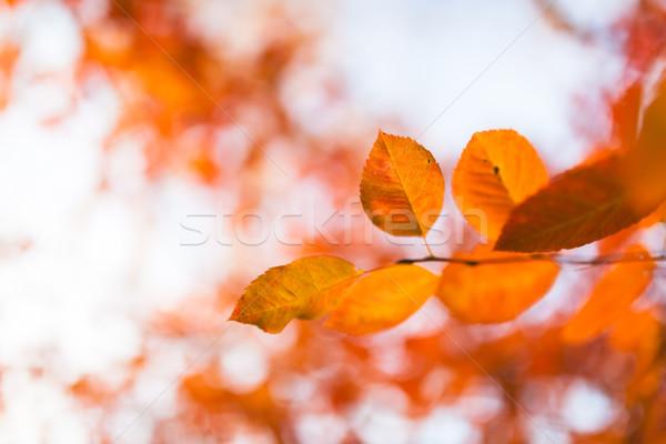 Narancs őszi levelek fa erdő absztrakt természet Stock fotó © Juhku