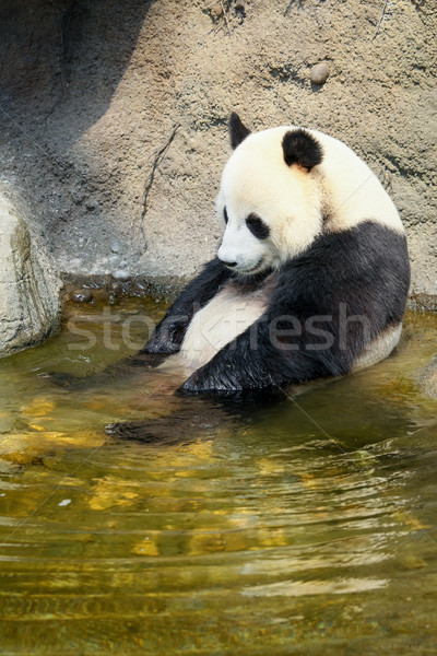 Stock photo: Giant panda sitting in water
