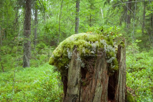 öreg fa tavasz fű erdő természet Stock fotó © Juhku