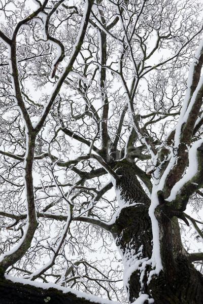 Nagy fa felhős égbolt feketefehér tél Stock fotó © Juhku