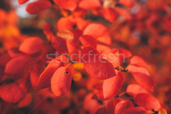 Red leaves of autumn Stock photo © Juhku