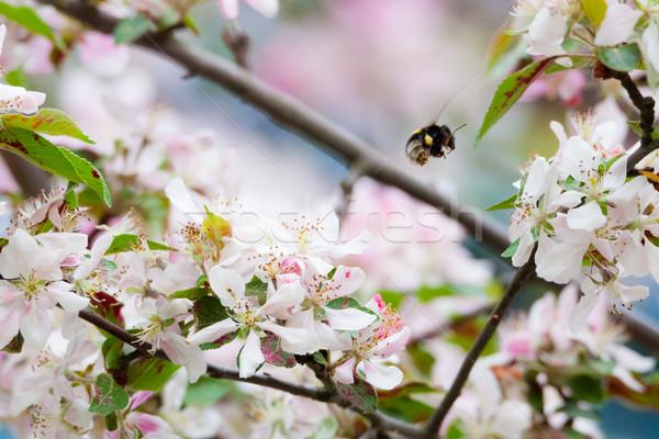 Abejorro manzano flor naturaleza primavera manzana Foto stock © Juhku