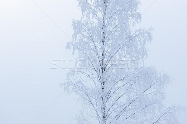 Huş ağacı ağaç üst kapalı kar don Stok fotoğraf © Juhku