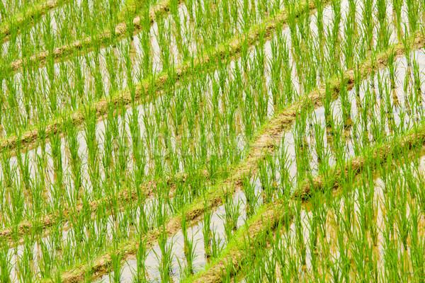 Rijstveld zuidelijk China voedsel natuur Stockfoto © Juhku