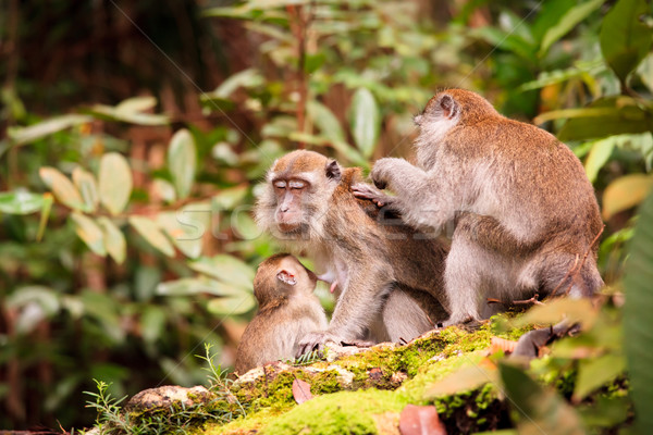 Monkey family taking care of each others Stock photo © Juhku