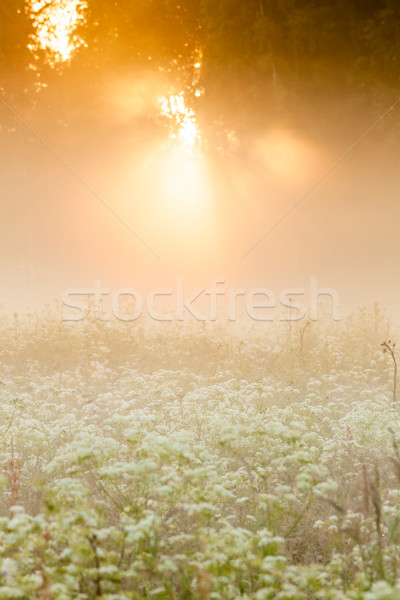 Golden light shine to foggy meadow Stock photo © Juhku