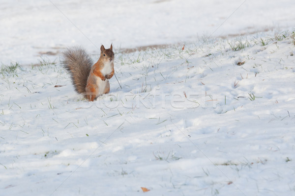 Squirrel standing on snow Stock photo © Juhku