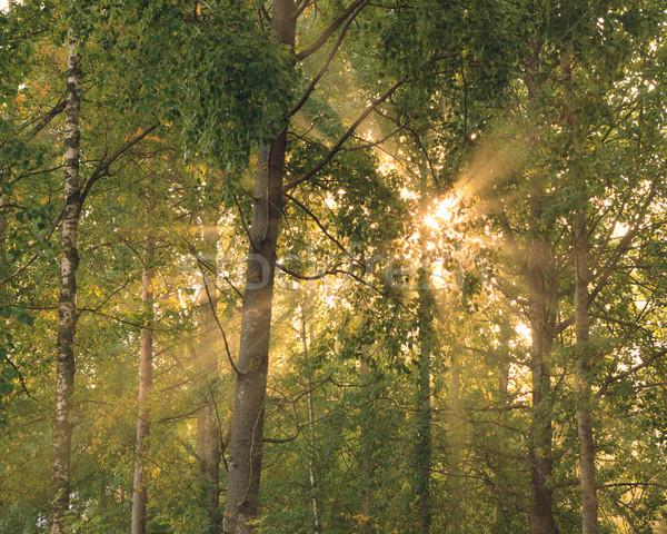 Sun rays through foliage Stock photo © Juhku