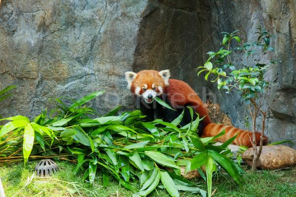 Cute red panda eating bamboo Stock photo © Juhku