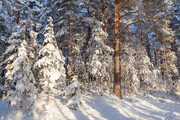 Sun shine in snowy forest Stock photo © Juhku