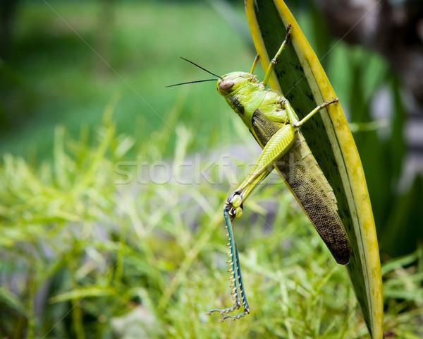 グラスホッパー 葉 ストレッチング 脚 自然 庭園 ストックフォト © Juhku