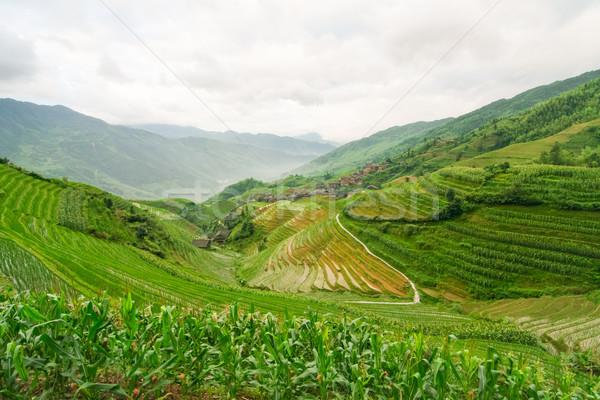 Chinese rice fields Stock photo © Juhku