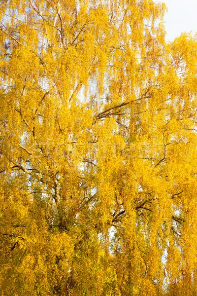 Amarillo follaje abedul otono forestales naturaleza Foto stock © Juhku