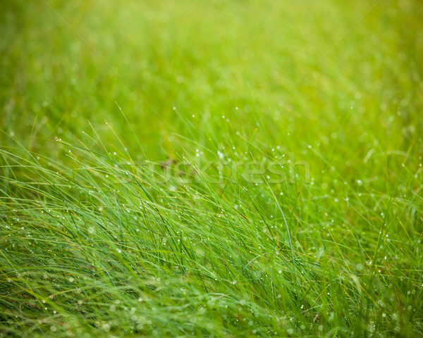 Abstract moisture grass background Stock photo © Juhku