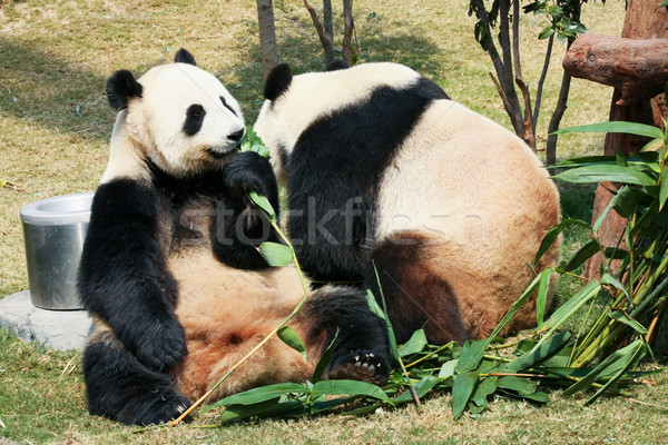 Two pandas eating bamboo Stock photo © Juhku