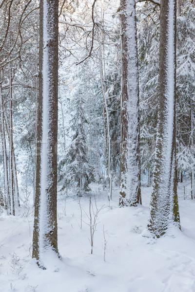 Snowy forest after blizzard Stock photo © Juhku