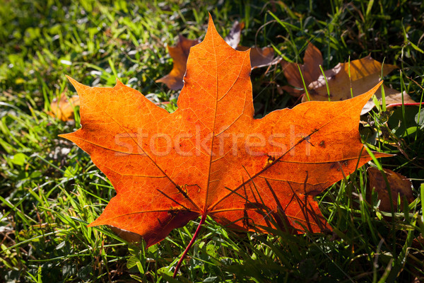 Red maple leaf on grass Stock photo © Juhku