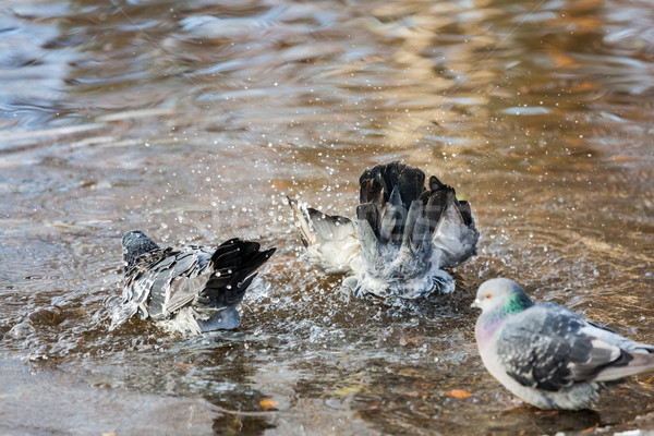 Pigeons birds bathing Stock photo © Juhku